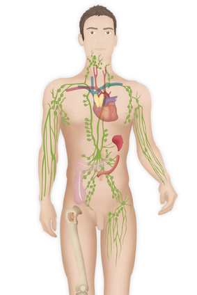 Positions of the lymph nodes